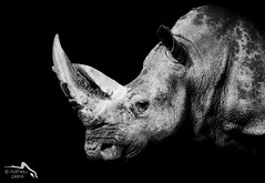 The white rhinoceros in the dark (Explore May 02, 2013 #14) (f0Iken4461) Tags: africa bw white black animal canon dark eos is explore ii rhino 7d usm ef rhinoceros 70200mm f28l folken461