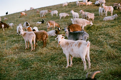 Goats! (bior) Tags: sunset film sunnyvale superia iso400 goat goats fujifilm superia400 bayshore fujisuperia sanfranciscobaytrail canoneoselaniie 50l ef50mmf12lusm sanfranciscobayshore