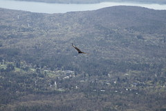 Gathering Vultures (milfodd) Tags: bird nature hiking wildlife may vulture hudsonvalley 2013 overlookmountainwildforest