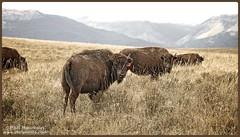 Tres búfalos (Phil Roussin PBR Photos) Tags: field cow buffalo montana roadtrip alberta prairie glaciernationalpark herd bovine 2010 indianreservation bigskycountry blackfeetindianreservation blackfeetnation borderfx wwwpbrphotoscom
