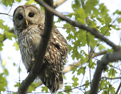 Barred owl - Mike 2013 (Mike and Dee Brown) Tags: ohio nature forest poland owl raptors barred