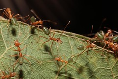Green Ants (genus Oecophylla, subfamily Formicinae) protecting their nest, 17  Mile World War Two Heritage Site near Palmerston, Northern Territory, Australia. (Michael J. Barritt) Tags: nest palmerston australia northernterritory genus worldwartwo protecting greenant heritagesite subfamily oecophylla greenants formicinae michaeljbarritt 17mile