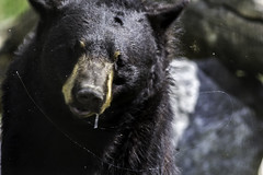 Slobbering bear (begineerphotos) Tags: bear calgary canon alberta blackbear calgaryzoo