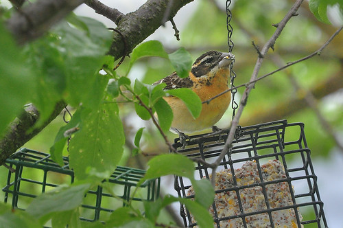 2013-05-18 Black-headed Grosbeak (01)