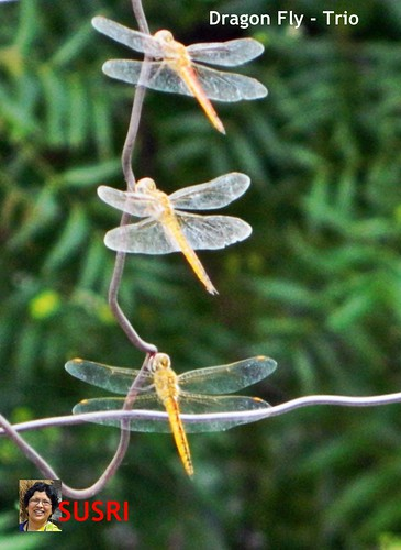 Dragon Fly - Trio