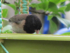 Oregon Junco (tlhowes2012) Tags: backyardbirds
