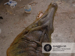 Dacosaurus maximus (Quagga Associats) Tags: justin history glass model eyes artist dinosaur stuttgart metallic wildlife awesome structure oil wikipedia polyester resin reconstruction maximus individual internal silicone plasticine moulded sculptured genial modelmaker quagga retardant hyperrealist ramonlopez hatzegopteryx dacisaurus