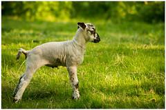 Springtime (8) (H. Bos) Tags: haven nature grass animal sheep natuur lamb gras lente sheeps dier lam springtime almere schapen schaap lammetje littlelamb waterlandsebos