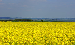 Not so mellow yellow! (SteveJM2009) Tags: uk light sun colour field yellow landscape spring focus dof bright vibrant may farmland rape wiltshire stevemaskell oilseed upavon wilts 2013 yahoo:yourpictures=summer2013