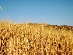 Wheat (Shahrazad_84) Tags: spring wheat noto sicily grano
