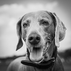 Kaya @ Tempelhof (cadillacdeville2000) Tags: bw dog up close bokeh portait weimaraner