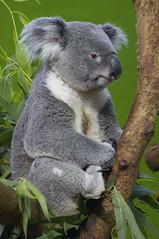 poser (ucumari photography) Tags: sc zoo october south columbia koala carolina marsupial riverbanks 6969 2013 specanimal ucumariphotography