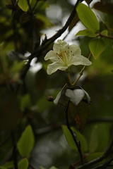 Rhododendron triflorum J. D. Hooker (1) (siddarth.machado) Tags: east rhododendron lachen northsikkim himalayanflora