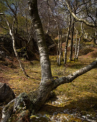 Llanberis (Neil Bryce) Tags: trees shadow wild spring beech