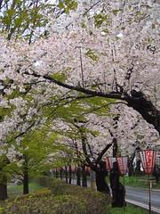 (ChihPing) Tags: 40150 40150mm        sakura   japan   olympus em5 omd 45mm f18 aomori