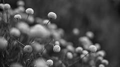 Summer flakes (Caropaulus) Tags: 50mm blackwhite blur bokeh fleur flower garden jardin minolta noirblanc rokkor vintage