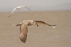 Star Fisher (Caleb4Ever) Tags: caleb4ever gull starfish bif birdinflight bird wings feathers nature seabirds birdwithprey seacoast england fleetwood northwest fyldecoast blackpoolandfylde