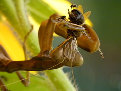 Praying mantis eating a bee (Geminiature Nature+Landscape Photography Mallorca) Tags: prey prayingmantis bee abeja bij eating comiendo etende bidsprinkhaan mantodeo mantodea mantis mallorca macro raynox250 dcr250 dcr raynox prooi ceba
