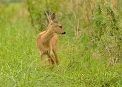 Roe deer (George Findlay) Tags: roe deer young nikon d7000 sigma150500 ayrshire