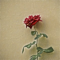 the red rose at crackling wall (Pejasar) Tags: rose red flower bloom blossom plant foliage wall cracked antigua guatemala art