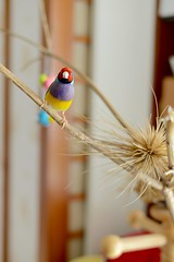 DSC_9215 (Jenny Yang) Tags:     lady gouldian finch pet bird