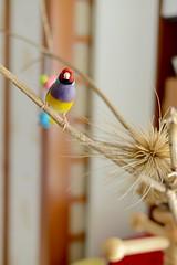 DSC_9215 (Jenny Yang) Tags: 小呆 小蕃茄 胡錦鳥 寵物鳥 lady gouldian finch pet bird