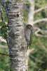 Juvenile Green Woodpecker (Robin M Morrison) Tags: green woodpecker juvenile polden hills somerset