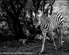 BABY ZEBRA (Robert Aycock) Tags: animal safari africa mammal wildlife striped nature white wild young black african pattern national park standing zoo background beauty savannah reserve hair isolated savanna serengeti kenya stripes cute creature conservation looking game travel equine calf child small plains camouflage grass herd foal grazing wilderness endangered zoology view offspring newborn mare outdoors species zimbabwe hoofed mara mane outdoor donkey stripe magnificent face beautiful grassland hairy herbivore head ears prairie elegant greatmigration babyanimal tail mouth centralserengeti eastafrica