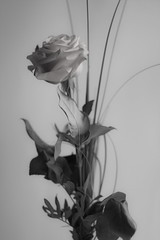 white rose (Xtraphoto) Tags: rose blume flower white weiss weis bw sw