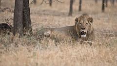 Lion in the Serengeti (Raymond J Barlow) Tags: africa lion serengeti phototours raymondbarlow wildlife animal