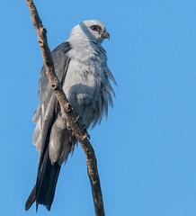 Mississippi Kite (VisualUniverse) Tags: mississippikite bird nikond500 nikon500mmf4efledvr nikontc14eiii