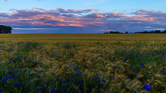sunrise in east germany (Urs Walesch) Tags: sunrise cornfield flowers clouds panorama sun sky nature east germany