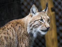 Semi profile of Mojak (Tambako the Jaguar) Tags: profile semiprofile portrait face fence pretty lynx feline cat male jonskleinefarm kallnach bern zoo switzerland nikon d5