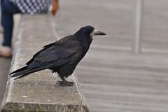Crow (Hachimaki123) Tags: crow animal ave bird pjaro pajaro wexford lochgarman cuervo