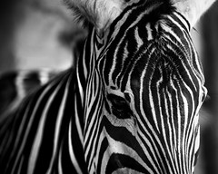 Alone (bprice0715) Tags: canon canoneos5dmarkiii canon5dmarkiii naturephotography nature sandiegozoo sandiego zoo zebra blackandwhite blackwhite bw animal wildlife travel