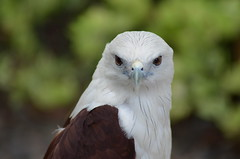 Up close with the Brahminy Kite. (Unending Journal) Tags: philippine eagle center davao city explore mindanao malagos nature reserve critically endangered bird fly like kite brahminy red backed sea