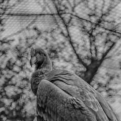 Andean condor (MaraChimp) Tags: zoo animal monochrome blackandwhite black grey white uk welsh mountain texture bird condor vulture carrion scavenger andean