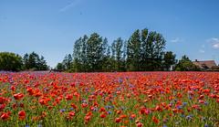 Poppies and cornflowers (Infomastern) Tags: kromby blomma blklint cornflower field flower flt poppy vallmo
