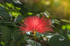 Sunlight (- Jan van Dijk) Tags: sunlight flower nature natuur fiori bloem fleur blumen blommor lumixtz110 dmctz110 calliandratweedii calliandra red redpompom