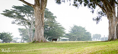 Deer on hole 9 (Aaron_Smith_Wolfe_Photography) Tags: deer golf pacificgrove monterey california beachside green 2470f28