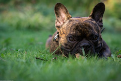Hi (Dionysos_Lichtenhauos) Tags: animal a6000 carlzeiss nature natur baby bulldog bully bokeh classic dogs dog hund ef5518 sel55f18z zeiss5518 zeiss pet frenchie frenchbulldog friend sonyflickraward sonysel55f18z green lneburg sheldon photo tier love sommer september sony sonya7r sonya6000 sun tree puppie