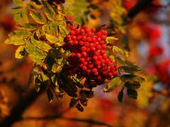 Syksyn vrit (Basse911) Tags: pihlaja rnn rowan syksy hst autumn september syyskuu eveninglight hang hanko finland suomi nordic