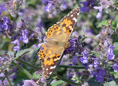 Painted Lady Butterfly (eric robb niven) Tags: eric robb niven scotland summer summerwatch dundee
