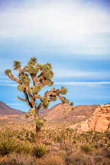 IMG_1468_Joshua Tree (Alex Hsieh ()) Tags:  joshuatree joshuatreenationalpark nationalpark travel roadtrip 2016 winter california canon canon6d hdr landscape usa desert