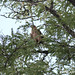Hawk in Lotus Tree