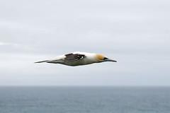 Australasian Gannet (Alan Gutsell) Tags: newzealandbirds nature wildlife alan bird seabird pelagic fish australasian gannet australasiangannet auckland