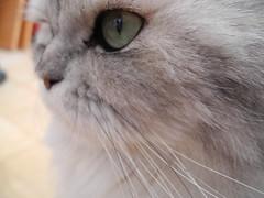 Face (akk_rus) Tags: nikon coolpix p7100 nikonp7100 marcello persian cat cats pet pets chat chats animal animals nature feline gato    chinchilla