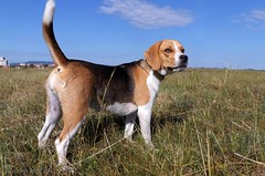 Dina is looking (andraszambo) Tags: beagle hound tricolor tricolour dog hund kutya vadászkutya kopó looking listening meadow pet outdoor animal