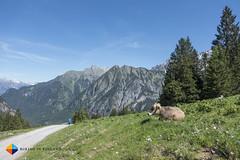 Hei there lovely cow! (HendrikMorkel) Tags: austria family sterreich bregenzerwald vorarlberg sonyrx100iv mountains alps alpen berge natursprngewegbrandnertal