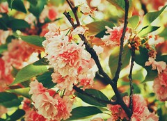 Remembering Spring (Jon-F, themachine) Tags: jonfu 2016 olympus omd em5markii em5ii em5mkii em5mk2 em5mark2  mirrorless mirrorlesscamera microfourthirds micro43 m43 mft ft     snapseed japan  nihon nippon   japn  japo xapn asia  asian fareast orient oriental aichi   chubu chuubu   nagoya  outdoors  nature  flower flowers   plant plants  flora